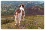 dog walker sugar loaf